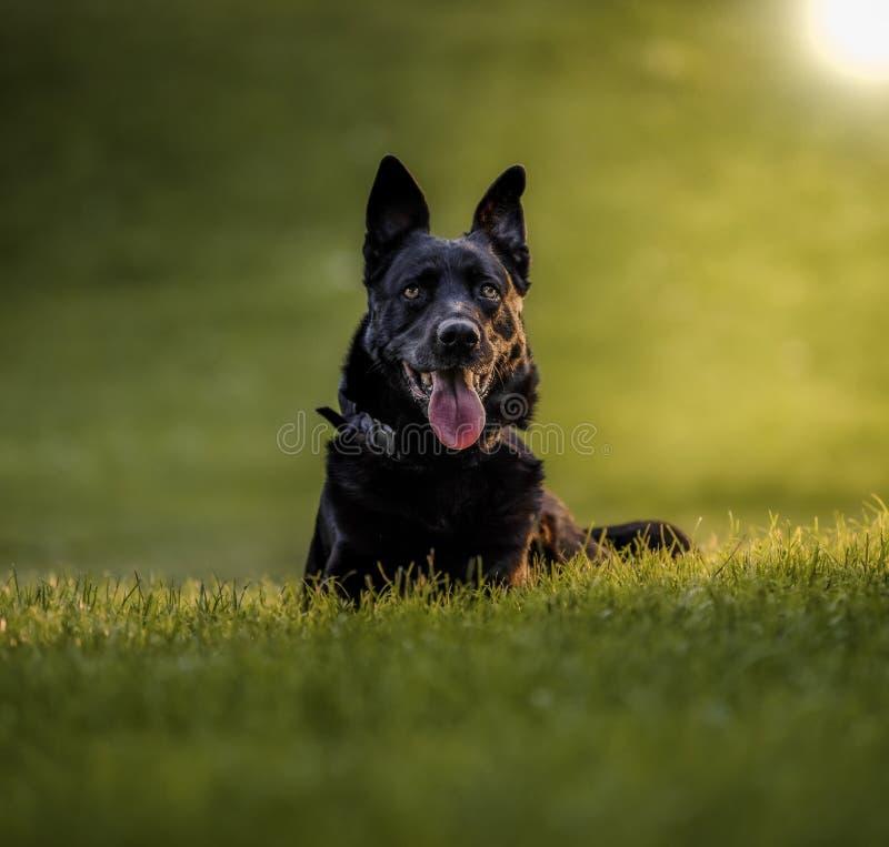 Cão-pastor belga que senta-se na grama de um parque natural fotografia de stock