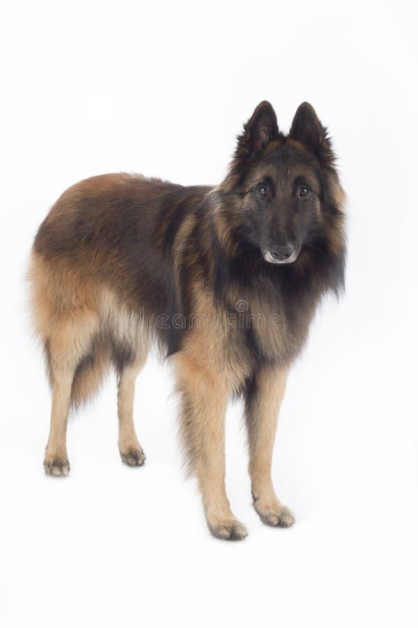 Cão, pastor belga Tervuren, posição, isolada imagens de stock