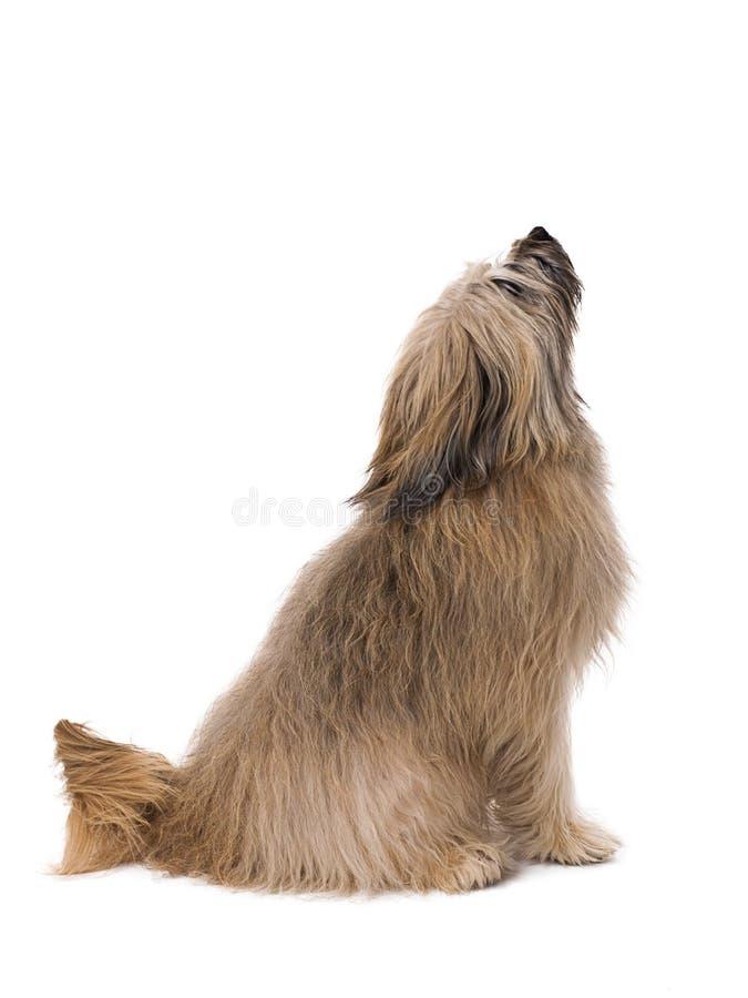Cão pastor Catalan de cabelos compridos que olha acima com fundo branco foto de stock