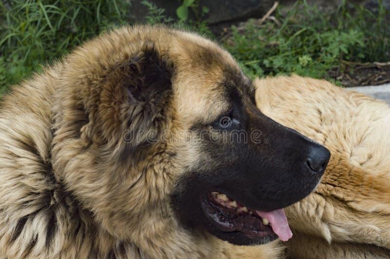 Cão pastor caucasiano do cão dois anos de jpg velho fotografia de stock royalty free