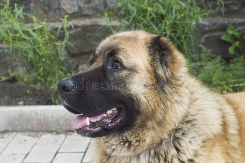 Cão pastor caucasiano do cão dois anos de jpg velho foto de stock royalty free