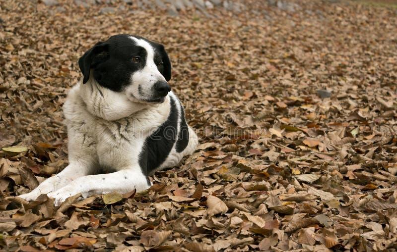 Cão-pastor com fundo do outono fotografia de stock
