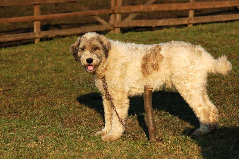 Cão-pastor de Mioritic foto de stock royalty free