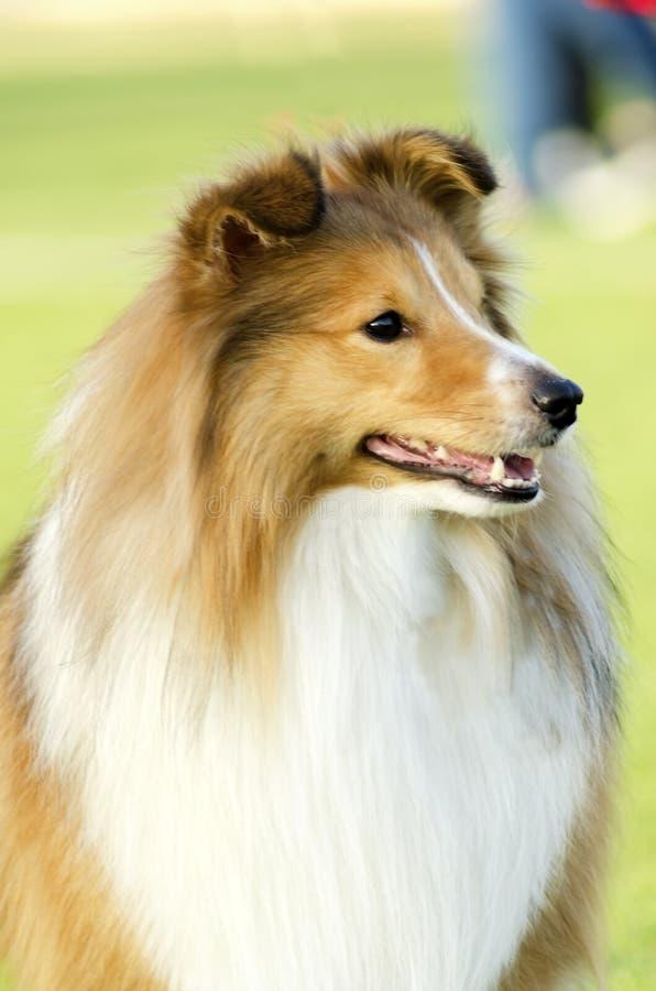 Cão pastor de Shetland imagem de stock royalty free
