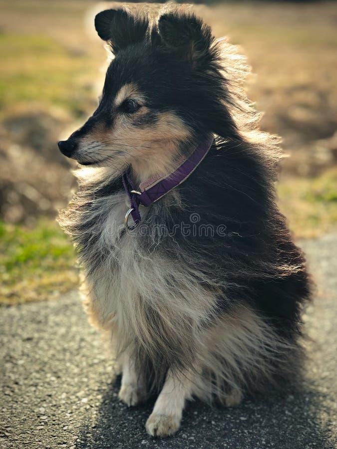 Cão pastor de Shetland bonito Naya que toma um resto no alcatrão após agilidade running fotografia de stock