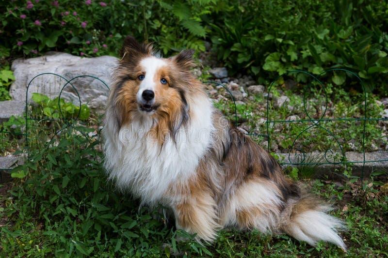 Cão pastor de Shetland de mogno devista lindo da zibelina foto de stock