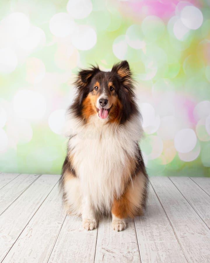 Cão pastor de Shetland no assento do retrato do estúdio imagem de stock royalty free