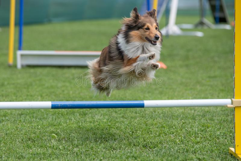 Cão pastor de Shetland Sheltie que salta sobre o obstáculo no compe da agilidade fotos de stock