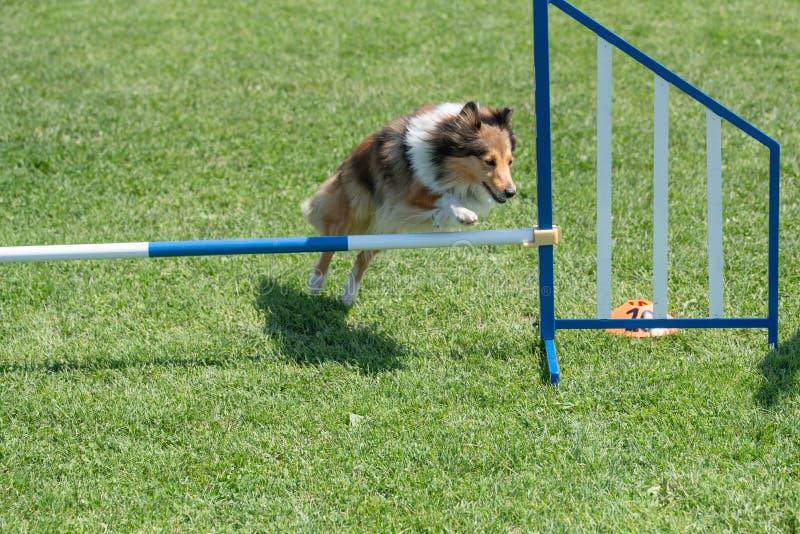 Cão pastor de Shetland Sheltie que salta sobre o obstáculo no compe da agilidade imagens de stock