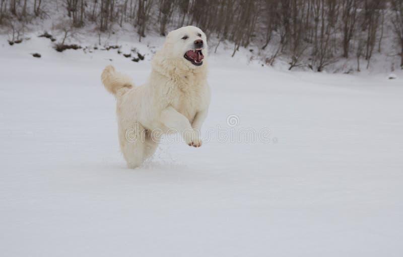 Cão pastor feliz do maremma que corre na neve imagem de stock