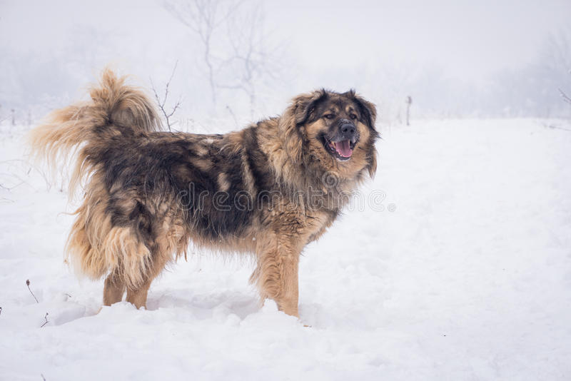 Cão pastor grande na neve imagens de stock