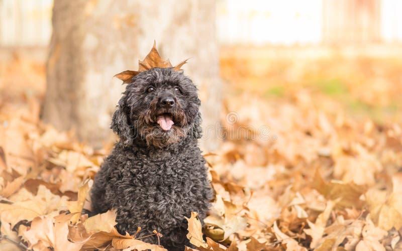 Cão-pastor húngaro Puli imagem de stock royalty free