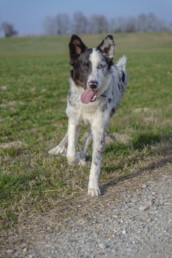 Cão-pastor jovem que corre e que joga no campo imagens de stock