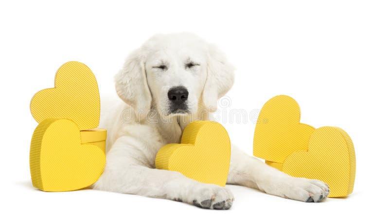 Cão pastor polonês de Tatra com os olhos fechados e que encontram-se entre os corações amarelos, igualmente conhecidos como Owcza foto de stock royalty free
