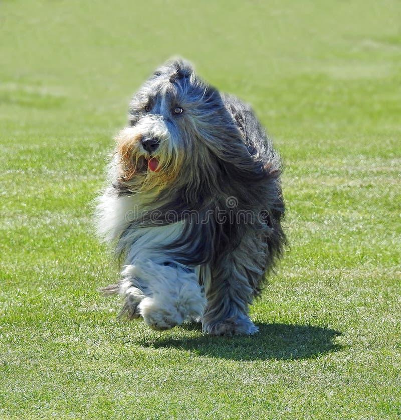 Cão pastor que corre no parque imagem de stock royalty free