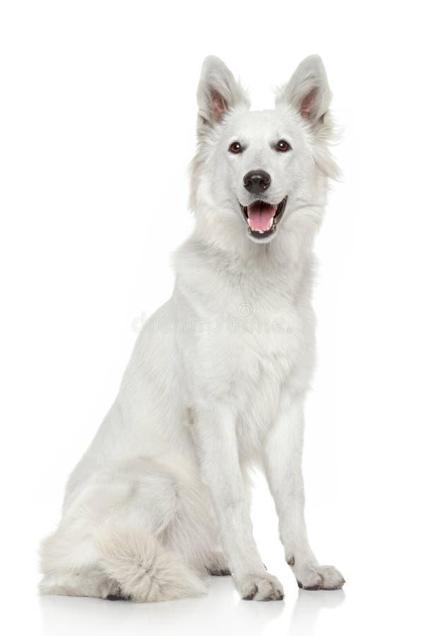 Cão-pastor suíço branco no fundo branco imagem de stock