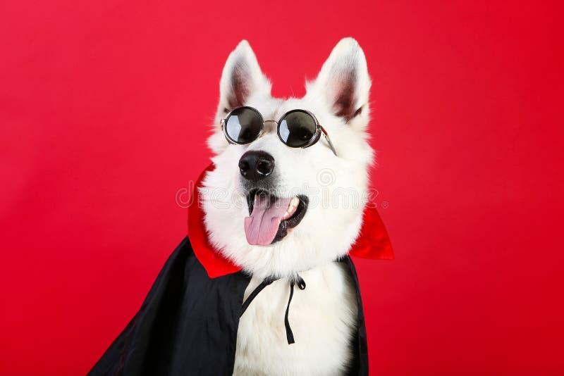 Cão pastor suíço de dracula fotos de stock