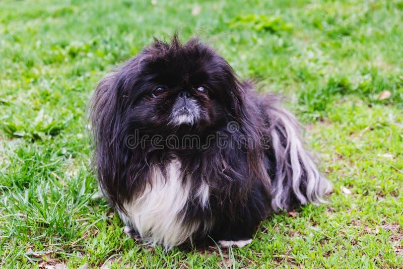 Cão pekingese engraçado do cachorrinho preto bonito imagem de stock