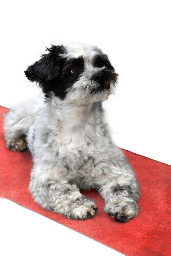 Cão pequeno bonito com os olhos grandes que sentam-se no tapete vermelho imagens de stock royalty free