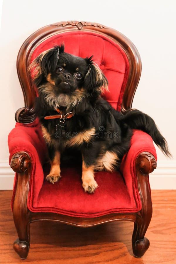 Cão pequeno bonito da chihuahua do pequinês na cadeira diminuta extravagante foto de stock royalty free