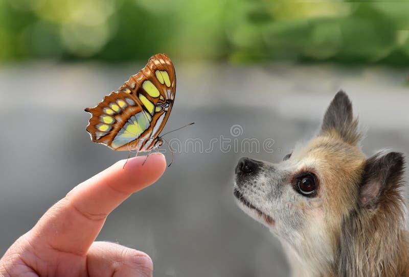 Cão pequeno bonito da chihuahua que olha uma borboleta foto de stock