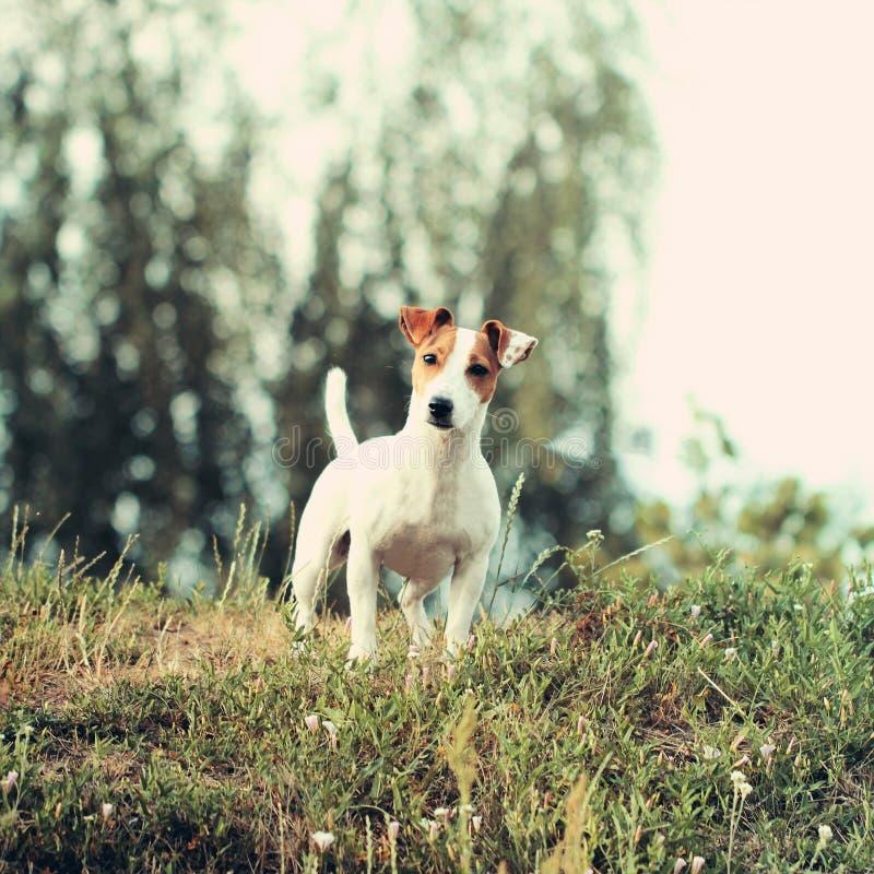 Cão pequeno bonito de Jack Russell Terrier foto de stock royalty free