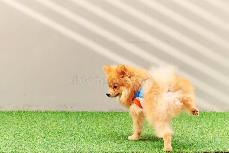 Cão pequeno bonito de Pomeranian que faz xixi no parque fotografia de stock