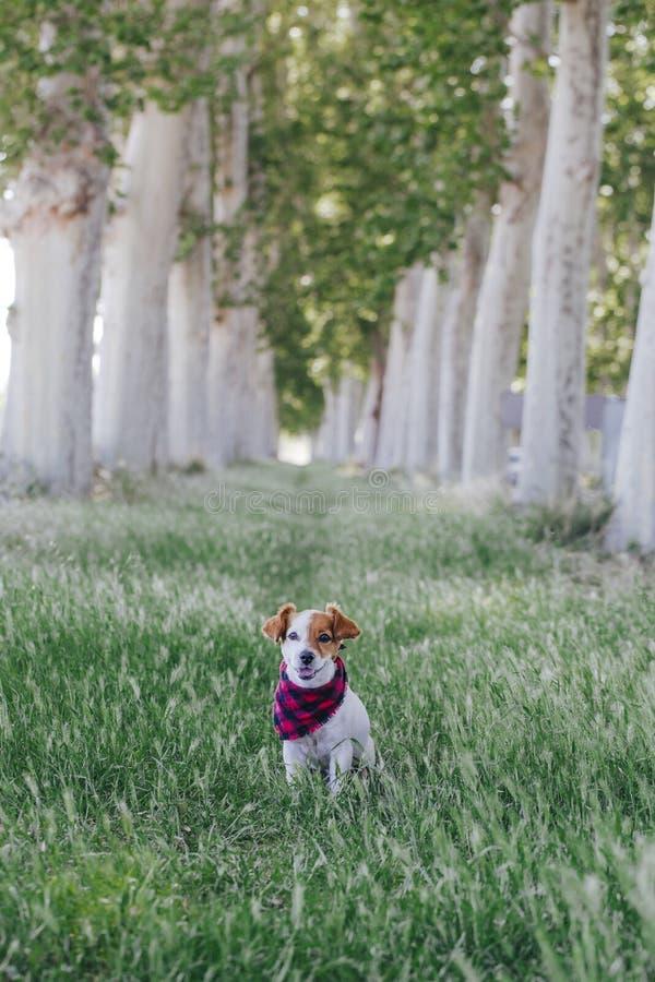 Cão pequeno bonito de russell do jaque que está fora em uma maneira das árvores e que olha a câmera Vestindo um bandana da manta  imagens de stock royalty free