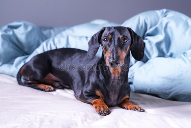 Cão pequeno bonito do bassê, preto e bronzeado, encontrando-se na cama Animais de estimação sala amigável do hotel ou de casa foto de stock royalty free