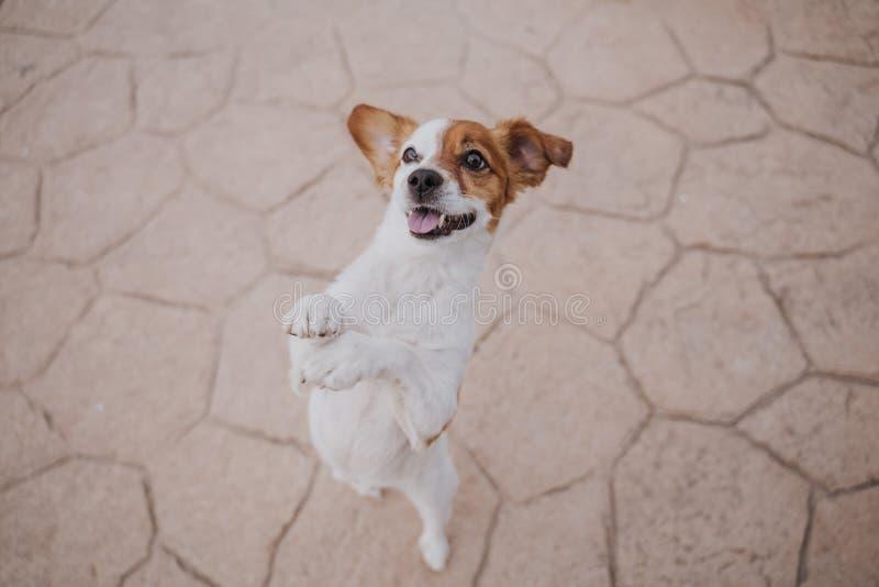 Cão pequeno bonito do terrier de russell do jaque que anda em duas patas que pedem deleites deliciosos Animais de estimação fora  imagens de stock royalty free