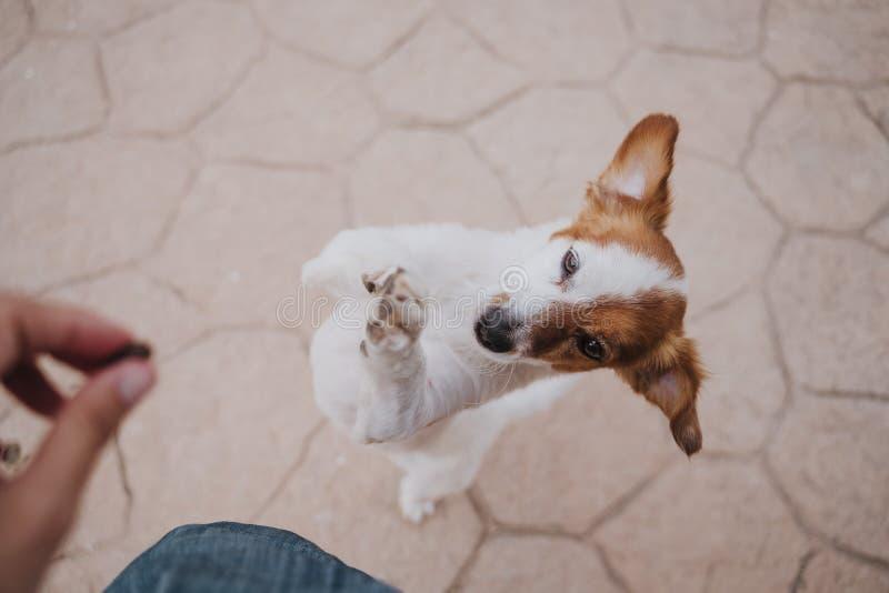Cão pequeno bonito do terrier de russell do jaque que anda em duas patas que pedem deleites deliciosos Animais de estimação fora  foto de stock