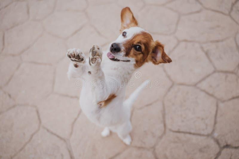 Cão pequeno bonito do terrier de russell do jaque que anda em duas patas que pedem deleites deliciosos Animais de estimação fora  imagens de stock