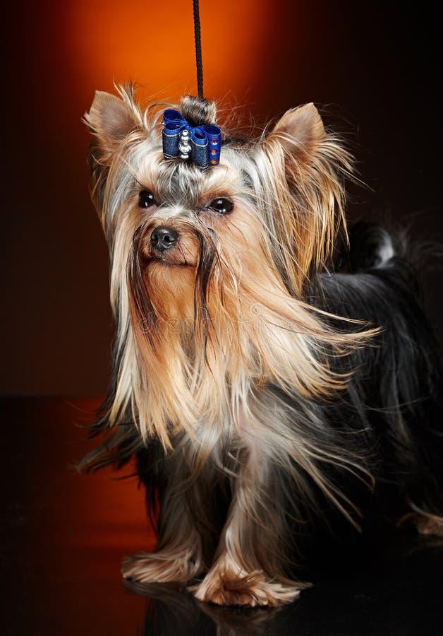 Cão pequeno bonito do yorkie imagem de stock