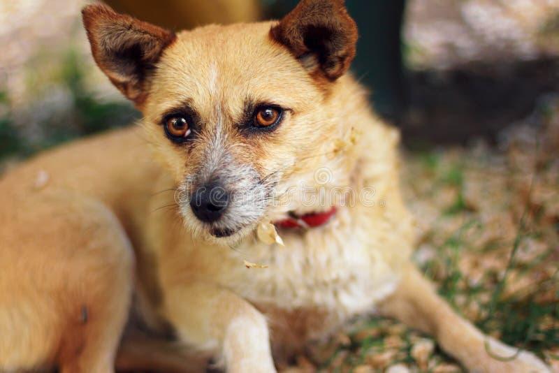 Cão pequeno bonito que encontra-se na grama foto de stock royalty free