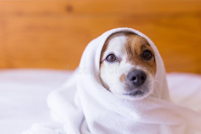 cão pequeno bonito bonito que obtém secado com uma toalha branca no banheiro HOME dentro fotos de stock