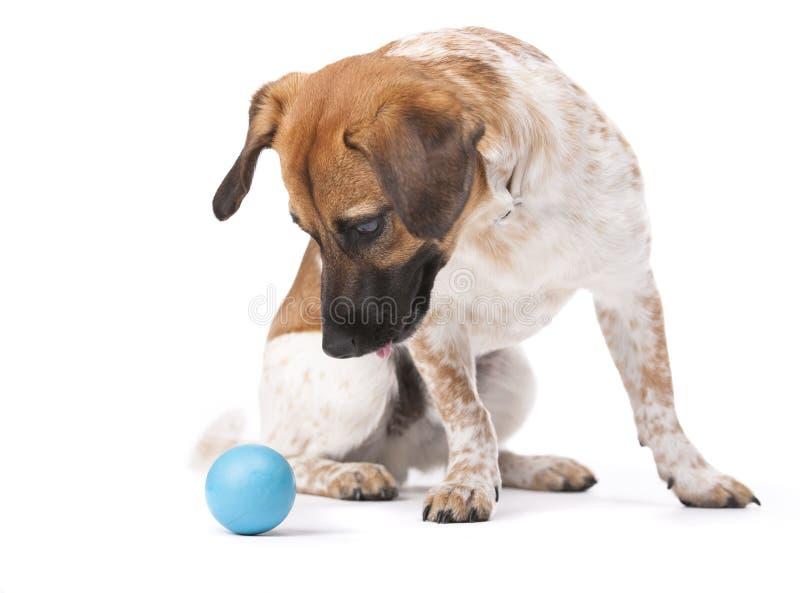 Cão pequeno com esfera azul fotografia de stock