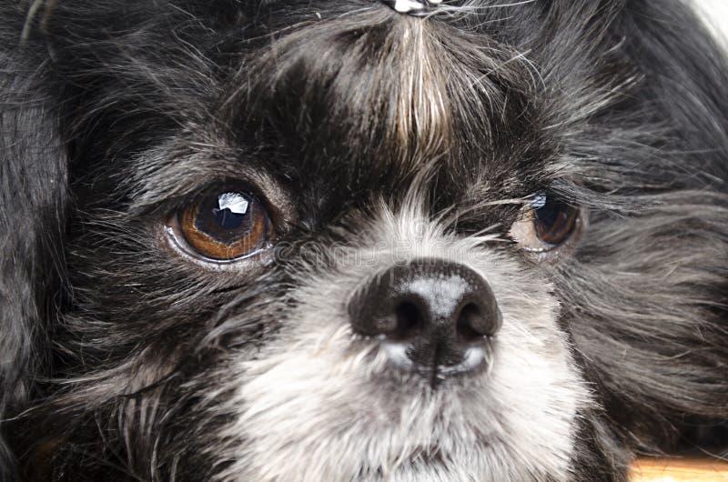 Cão pequeno com focinho triste imagem de stock