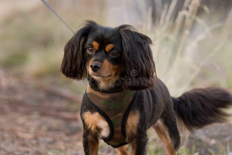 Cão pequeno com um chicote de fios em uma ligação que vai para uma caminhada imagens de stock