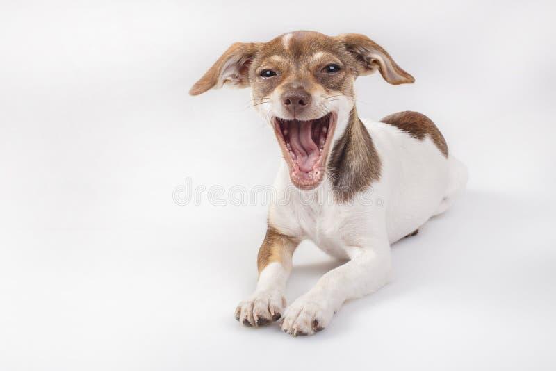 Cão pequeno com um sorriso grande fotos de stock