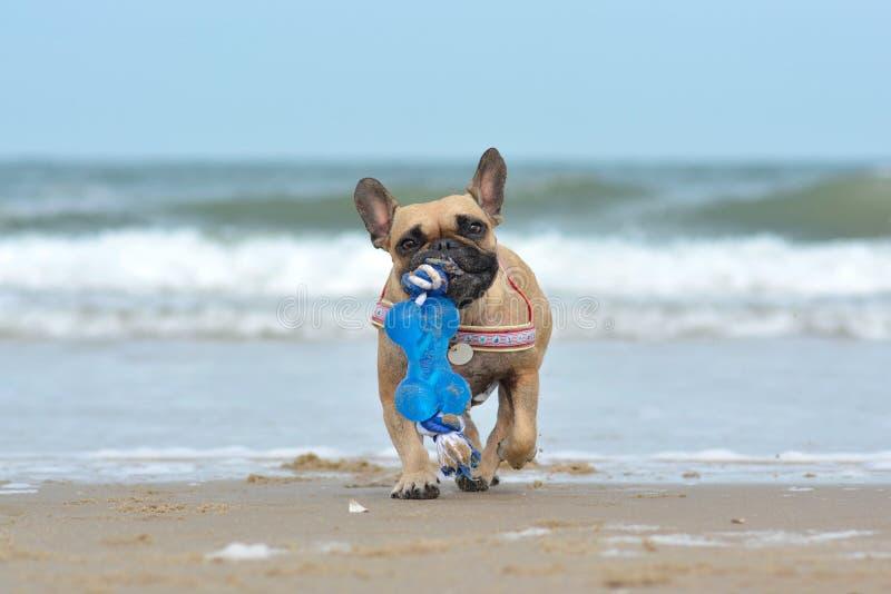 Cão pequeno do buldogue francês da jovem corça que leva o brinquedo azul grande no focinho ao jogar o esforço na praia na frente  imagem de stock