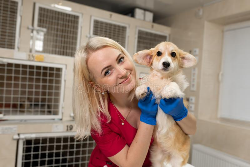 Cão pequeno do corgi da posse loura atrativa do veterinário da mulher em suas mãos no hospital do animal de estimação Cuidados mé fotos de stock royalty free