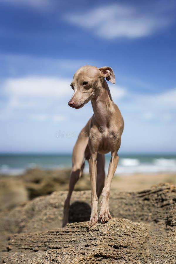Cão pequeno do galgo italiano na praia foto de stock royalty free