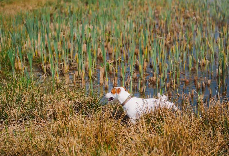 Cão pequeno do terrier de russell do jaque que anda em um prado com poças da água em um verão fotografia de stock royalty free