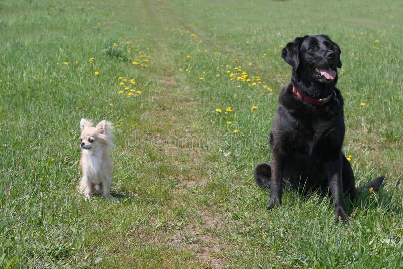 Cão pequeno e grande fotografia de stock royalty free