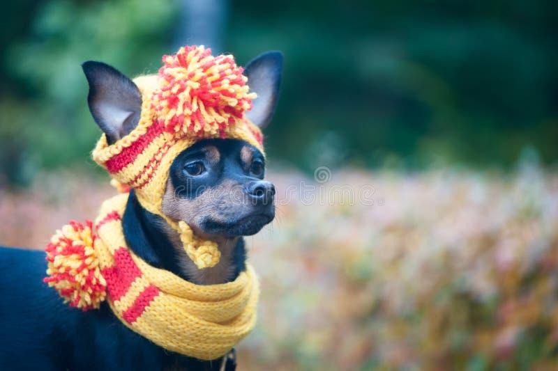 Cão pequeno em um chapéu e em um lenço do outono Cachorrinho engraçado, engraçado Tema do outono, frio fotografia de stock