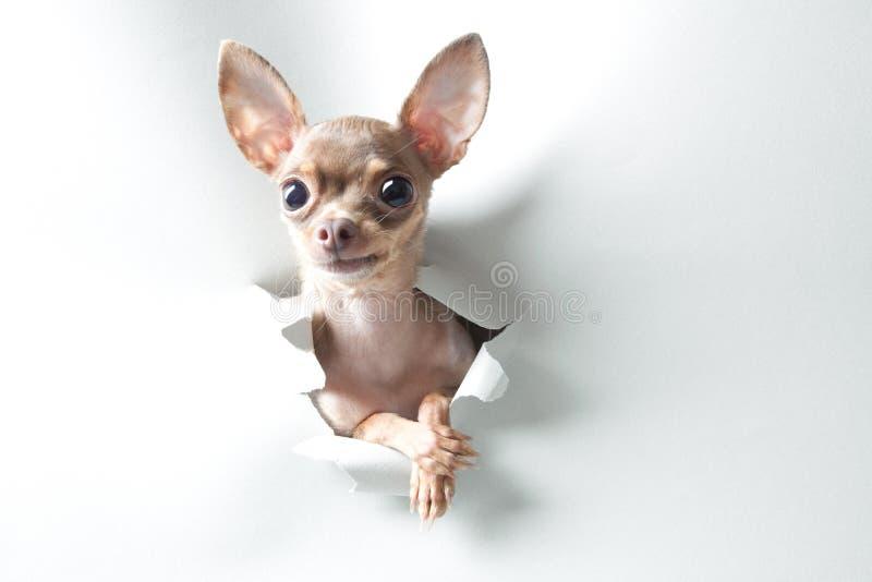 Cão pequeno engraçado com olhos e as orelhas grandes foto de stock