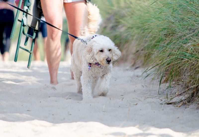 Cão pequeno feliz que anda com o proprietário na areia fotos de stock