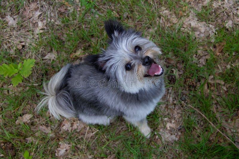 Cão pequeno feliz que olha para cima na câmera imagens de stock