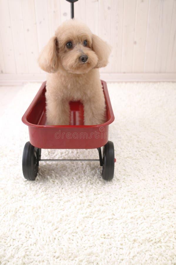 Cão pequeno no brinquedo do carro imagens de stock royalty free
