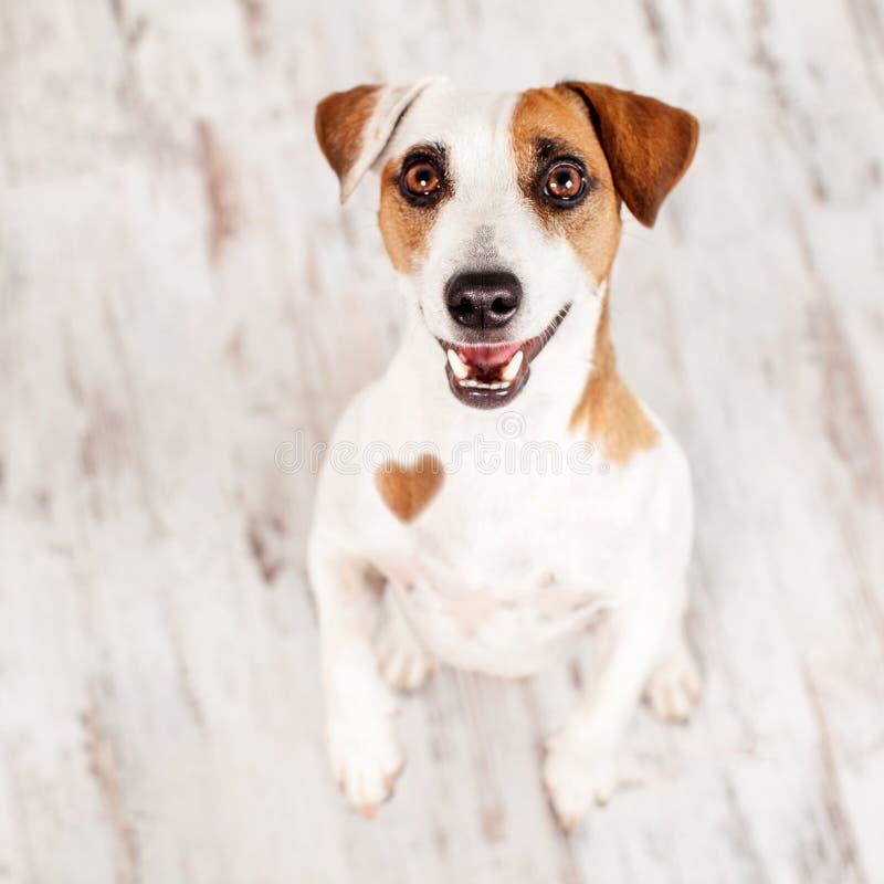 Cão pequeno no estúdio fotos de stock